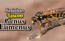 KEAJAIBAN TAWON GENUS  EUMENUS
